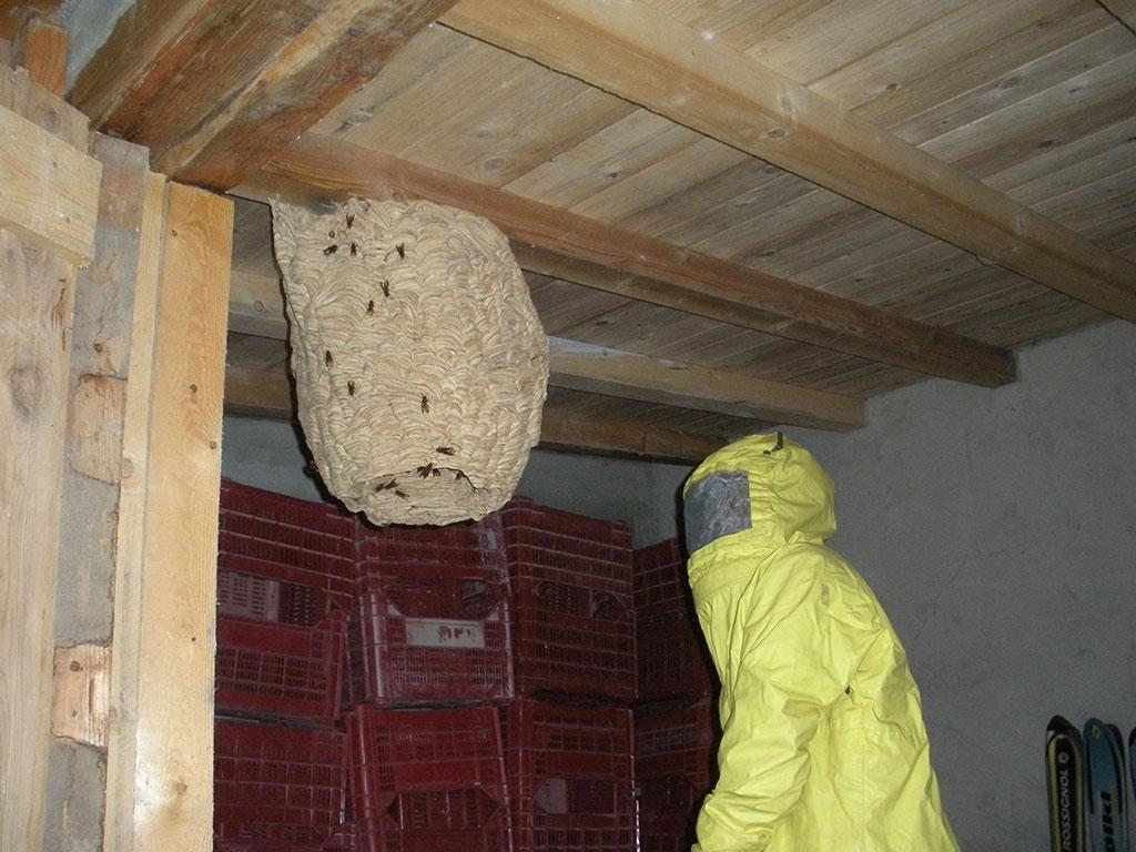 Cattura calabroni (Vespa crabro)