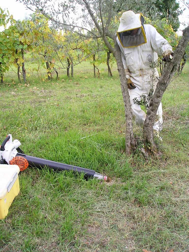 Cattura vespe terragnole (Vespula spp.)