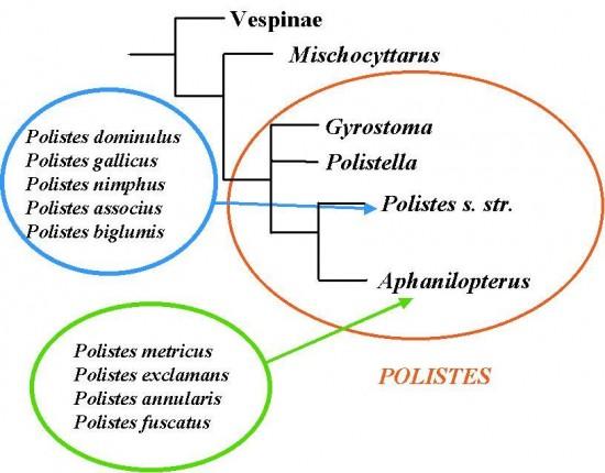 Cladogramma Polistes