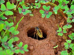 Nido di vespa terragnola (Vespula spp.)
