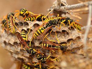 Nido di vespa cartonaia (Polistes dominula)