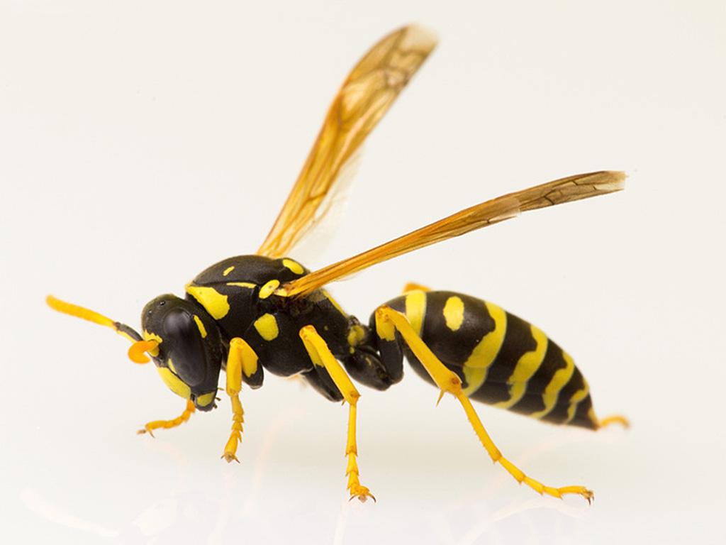 vespe cartonaia (Polistes dominula)